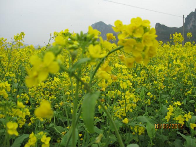 [分享]超漂亮的上林油菜花田