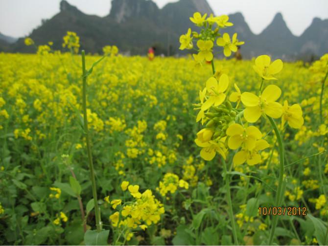 上林油菜花