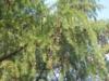 北国特有的落叶松松花