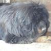 铁包金 红獒 种公 种母 出售 支持换狗
