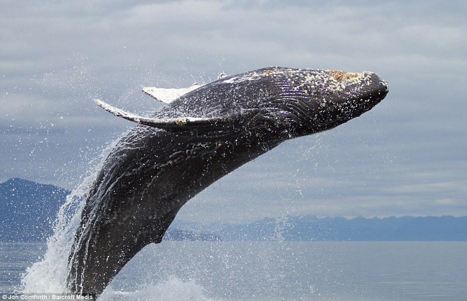 金侨驹�(_摄影师拍摄到成群跳跃的座头鲸