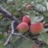 我的杏树园照片