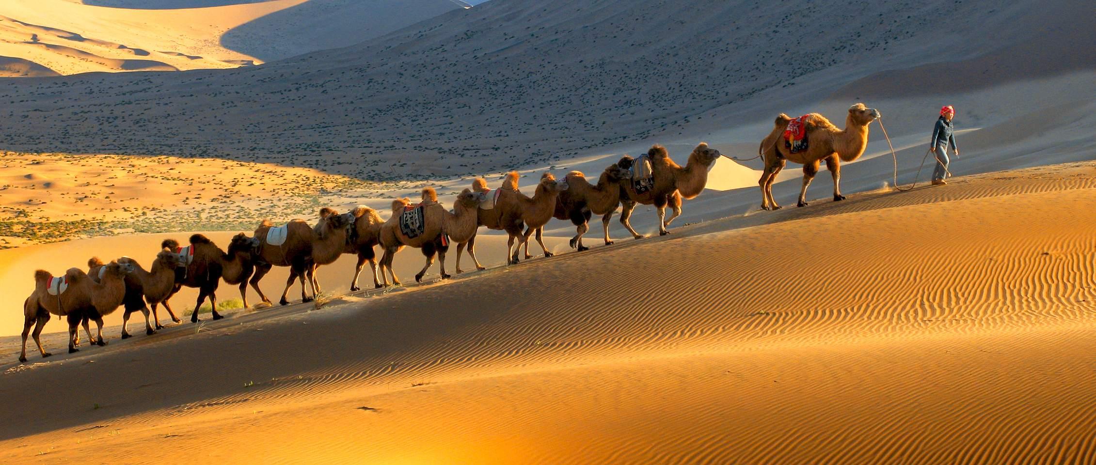沙漠中的骆驼歌谱 沙漠中的骆驼素描 骆驼图画