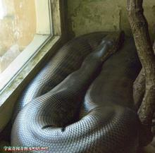 射阳巨蛇事件_桌面云南大蛇事件图片射阳大蛇事件大s艳门照