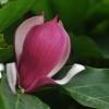 蓟县山区拍摄的玉兰花