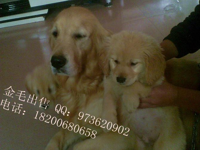 茂名雪纳瑞幼犬出售   纯种健康