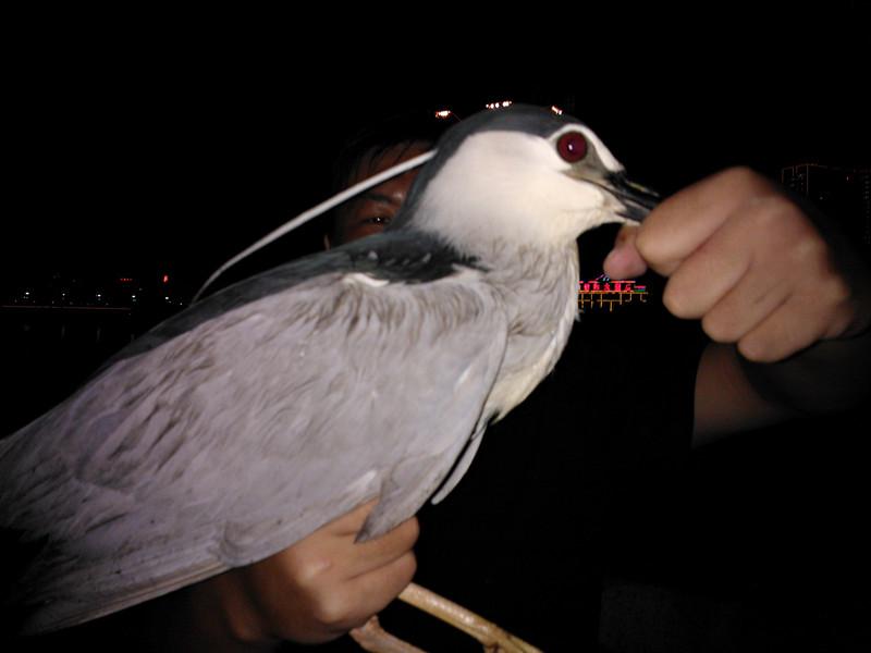 [原创]夜钓钓到一只夜鹭(国家二级保护动物)已放生!