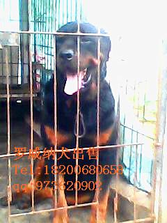 茂名罗威纳犬出售
