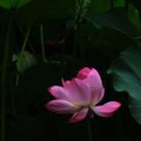 [原创]花开花落――-再拍荷花