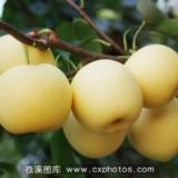苍溪特产梨
