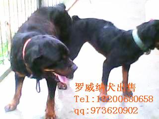 茂名地区罗威纳犬出售