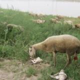 两个小羊羔诞生记
