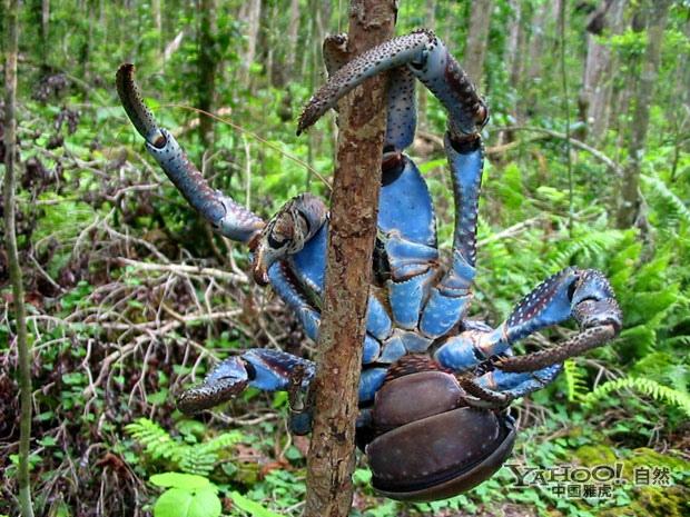 巨型椰子蟹常吃动物尸体(图)