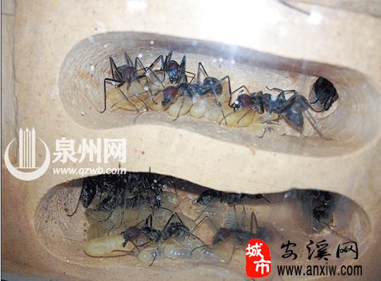 原生收获蚁住在透明的蚁巢里   说到养宠物,很多人会想到狗、猫、鱼等常见的小动物,相比之下,家住安溪的宠物达人黄先生的喜好有些不一样,他养过蜘蛛、蚂蚁等常人觉得跟宠物搭不上边的动物。养蚂蚁之后,黄先生遭受不少非议,别人会问,蚂蚁需要买吗?买一只蚂蚁竟然要花几百元。 可在黄先生眼里,蚂蚁虽小,却很有意思:我养的都是无毒蚂蚁。有一种吃小米的蚂蚁,嘴里会吐出面包屑,久而久之,蚁巢里就会出现一小块蓬松的小面包,很可爱。 红头弓背蚁,蚁穴中有幼虫和蛹,是目前国内最大的蚂蚁。  红头弓背蚁,蚁穴中