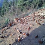 零售、批发生态放养鸡!吃的是玉米,喝的是山泉水!