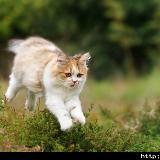 宠物:折耳猫