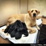 [狗话连篇] 黄色拉布拉多生下12只黑色狗宝宝 主人称奇(图)