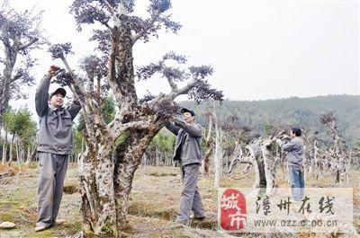 漳平发展生态旅游 农艺师将檵木景观树嫁接修剪