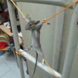 可�z的鼠仔
