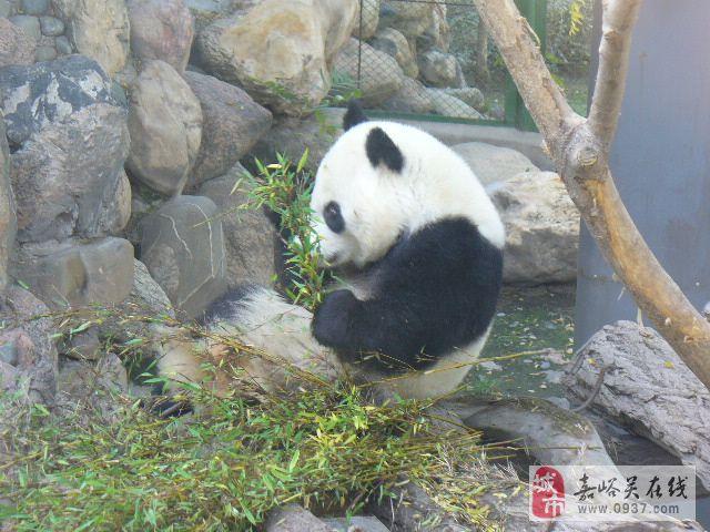 大熊猫 动物 640