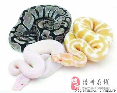 2013蛇年,美丽6种宠物蛇