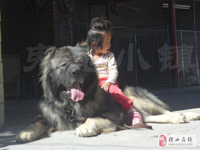 猛犬  高加索 青灰色 熊版大骨架 巨型体