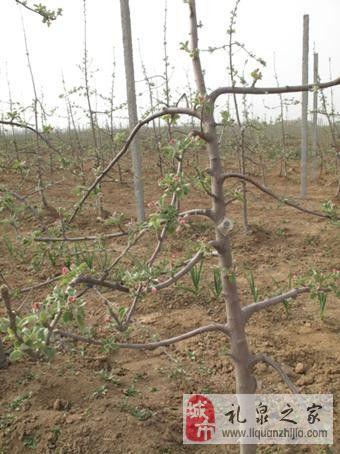 苹果园高纺锤树形建造与管理-礼泉论坛-手机礼泉之家