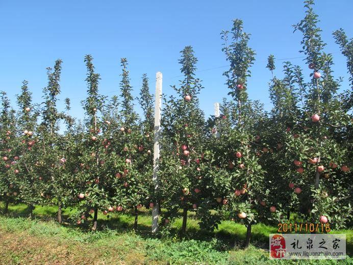 苹果园高纺锤树形建造与管理