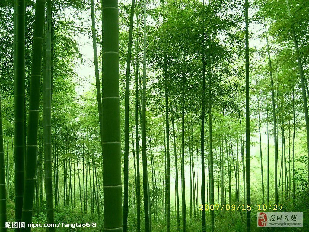 时常梦见那片竹林, 我钻进茂密的竹林, 被那棵竹子所吸引, 一根不高