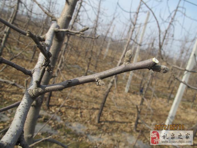 高纺锤形果树冬季修剪图解