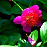 北陵芍药花