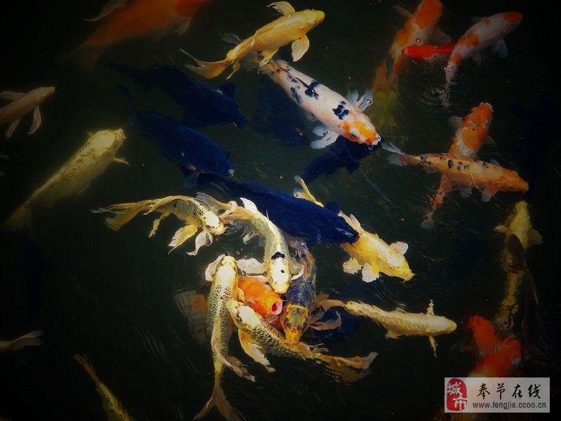 锦鲤鱼(组图)