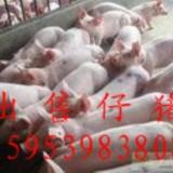 [公告]山东沂水大量出售优良仔猪苗猪