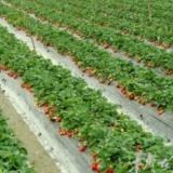 [推荐] 绿色无公害草莓采摘基地