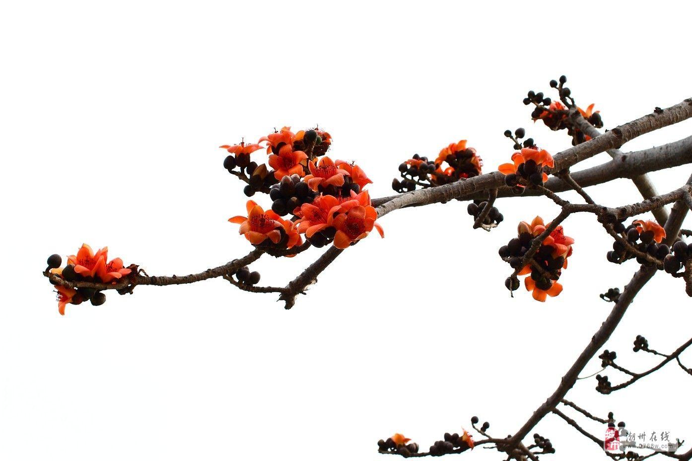 木棉花的春天_原创摄影