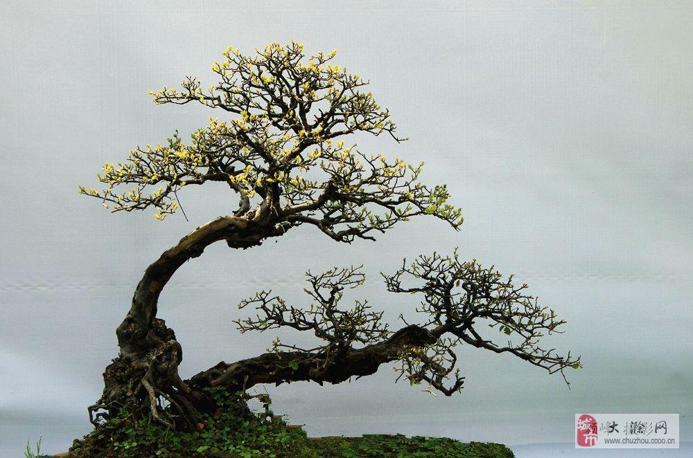 盆景枝条拿弯的方法,粗枝细枝一样轻松拿弯,效果杠杠滴