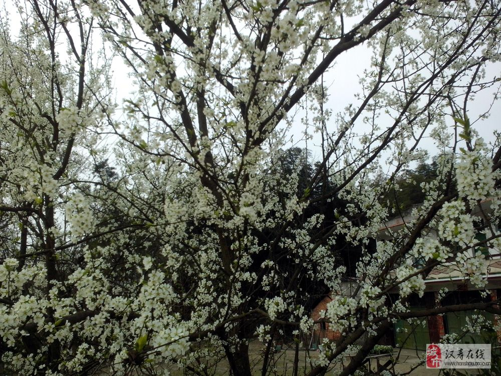门前种桃花一定是汉寿人家!