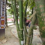 铜仁河滨公园竹林遭践踏