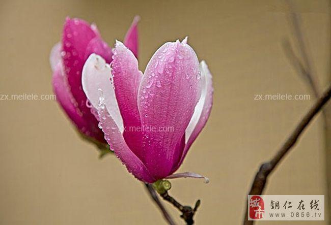 木兰花花语是什么 高洁之士木兰花