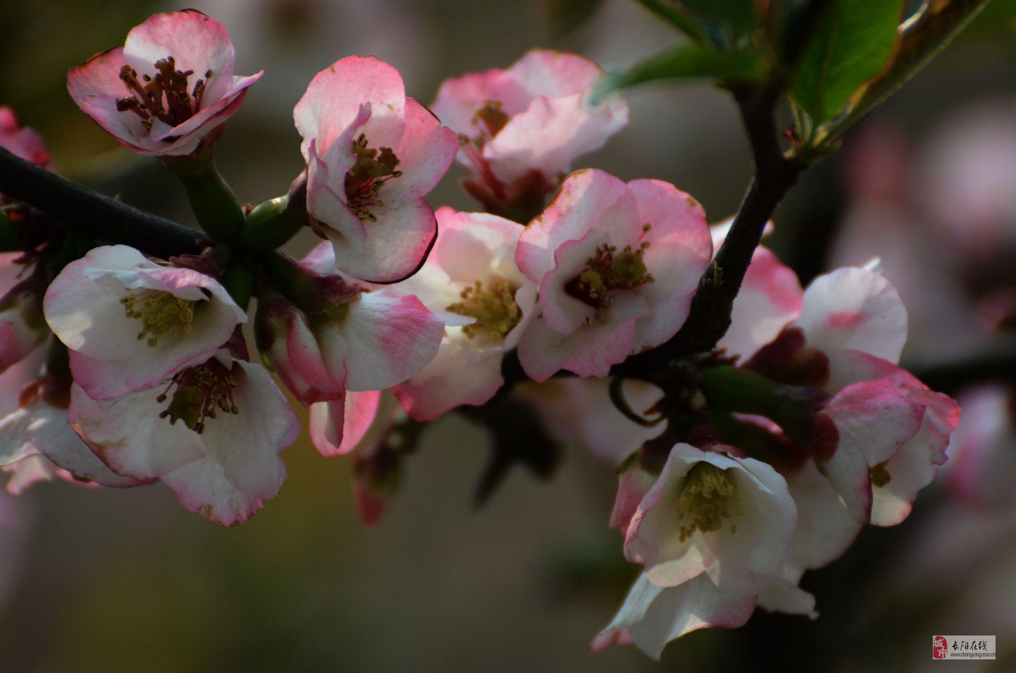 [贴图][分享]木瓜花舞动春天