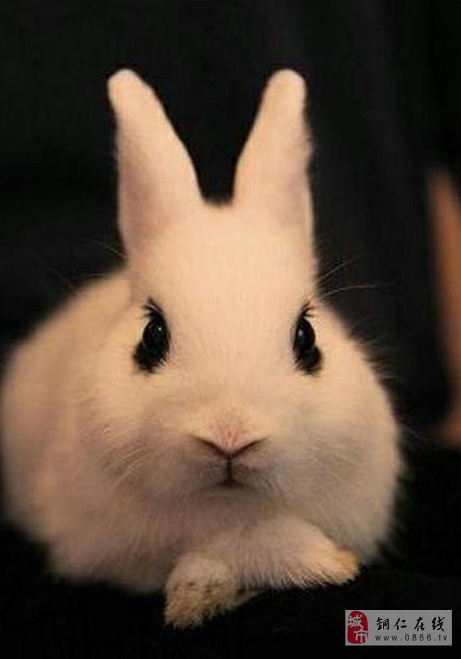 导读:身边不知不觉就刮起兔兔旋风,宠物市场的兔兔商店也热闹了起来。一个不小心,我们就被可爱无比的兔子萌倒。今天小编给大家介绍最萌的四只兔子,听完大家就去把它们带回家吧。  萌兔一:侏儒海棠兔   【英文名字】Dwarf Hotot   【俗名别称】侏儒荷达特、侏儒熊猫兔   【原产地区】德国   【品种简介】   侏儒海棠兔可分为两种,一种是全身为纯白体色,在眼睛部位带有黑色眼线另一种同样有黑眼线,只是雪白体身上还带有些许斑点。   【性格介绍】   活泼、警觉,好奇心旺盛,容易和人相处,属个性相当可爱的