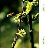 参赛作品―微距迎春――郭俊海摄影