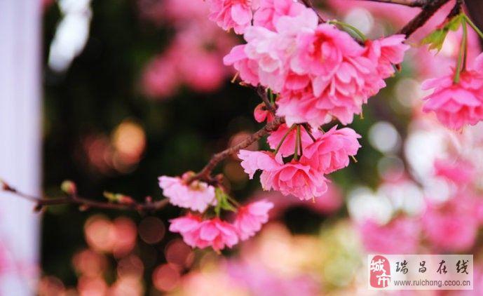 浪漫樱花 美得让人陶醉