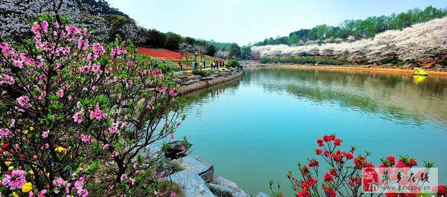 24日周日长沙森林植物园看樱花,郁金香,牡丹活动!
