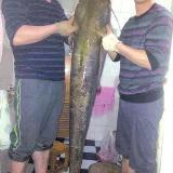 内江男子用鸭肠作饵钓鱼 1.5米41斤大鲶鱼上钩