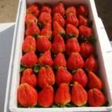 小马村金湾草莓采摘园