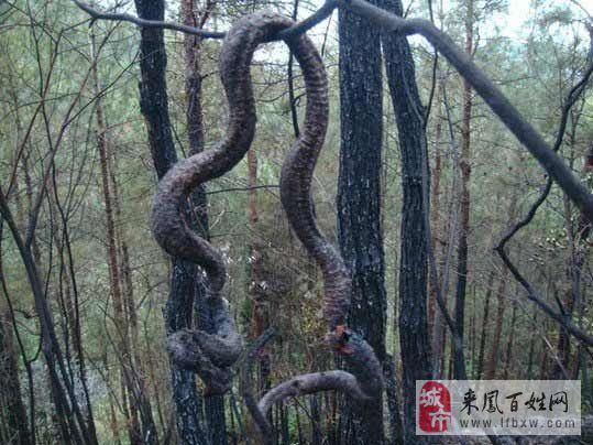 2014蛇渡劫化龙图片_蛇化龙图片 _网络排行榜