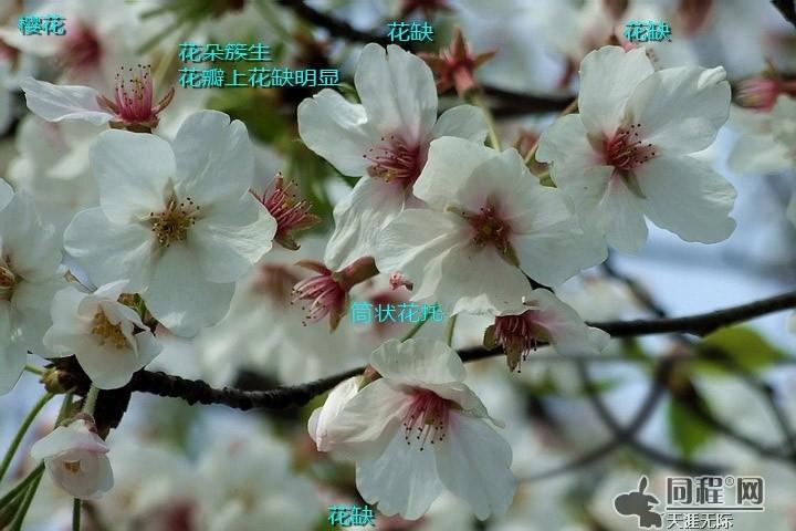 [转贴]辨花识草——樱花与桃花的区别