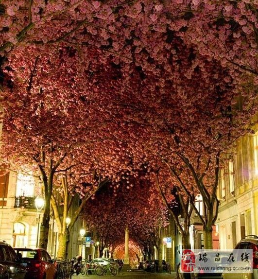 美翻了!樱花盛开如临仙境。