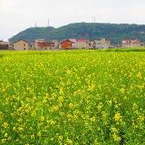 花海深处有人家――安顺市尖山村万亩油菜花景观随拍